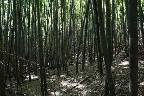 クロヤツシロラン自生地の竹林