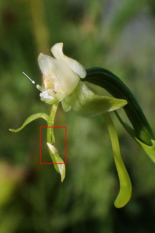 #11 オゼノサワトンボの花粉塊