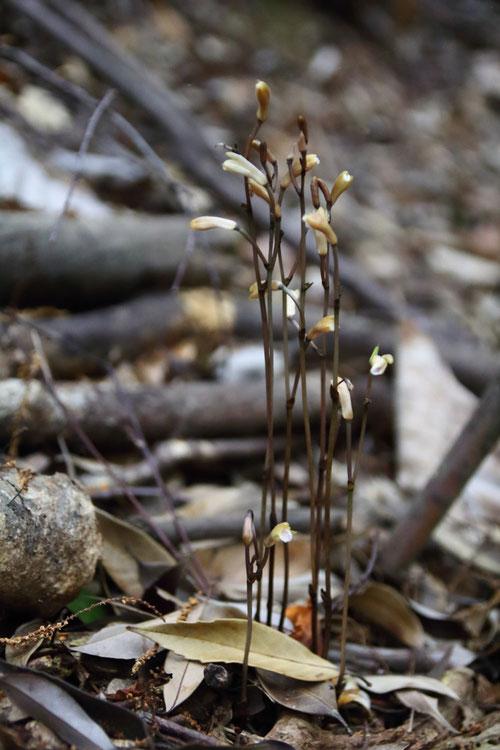 ウスキムヨウラン (薄黄無葉蘭) ラン科 ムヨウラン属  お初の花です