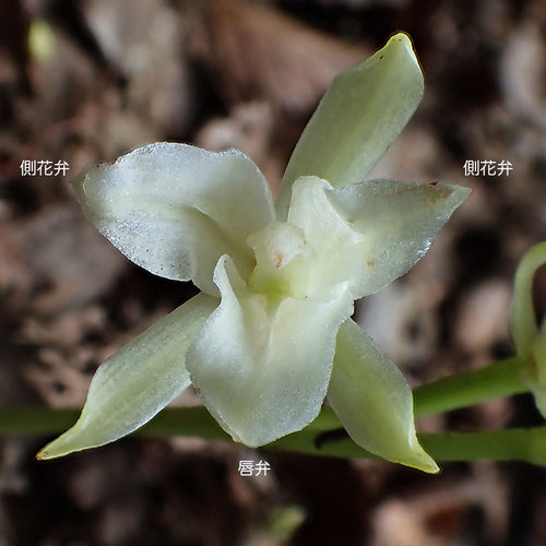 サガミランの側花弁には、唇弁にあるような隆起線があります。画像は90°右回転