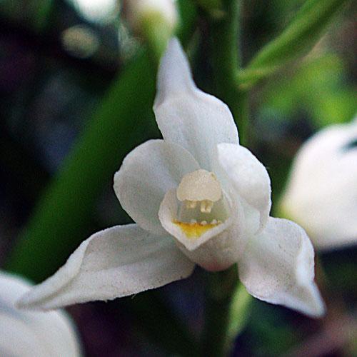 唇弁の奥は黄色く隆起線がある。蕊柱の下に覗く突起は花粉塊と思われます