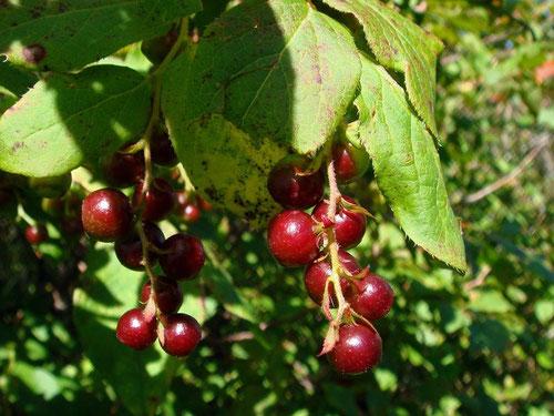 ナツハゼ(夏櫨)の果実 この後熟すと黒くなり甘味も増すとか