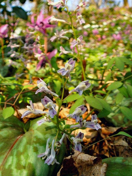 #3 花園に咲くミチノクエンゴサク   2008.04.05 新潟県