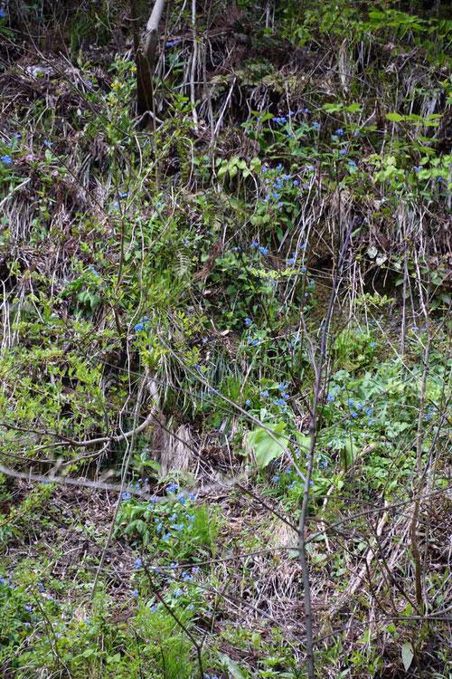 急斜面にエチゴルリソウが咲き乱れていた!