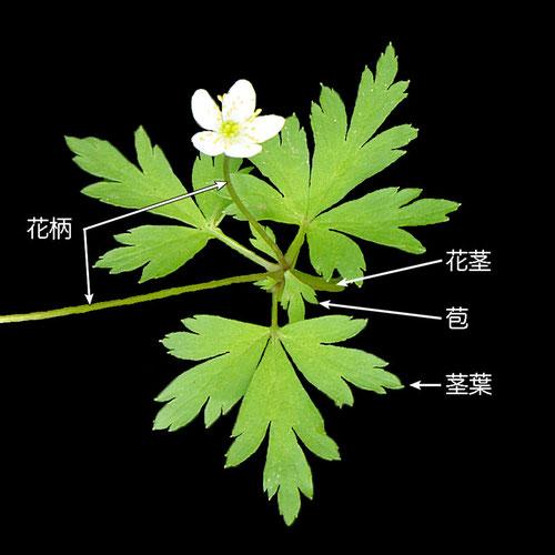 #6 サンリンソウの茎葉の様子