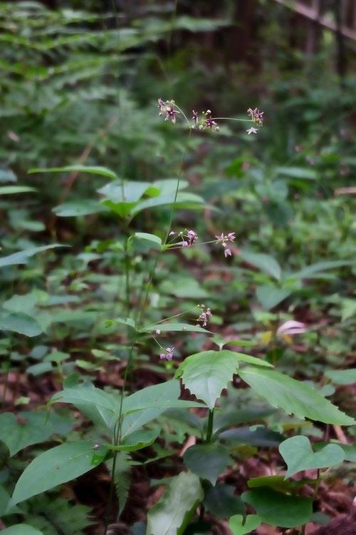 クサナギオゴケ (草薙尾苔) キョウチクトウ科 カモメヅル属 千葉県 alt=40m