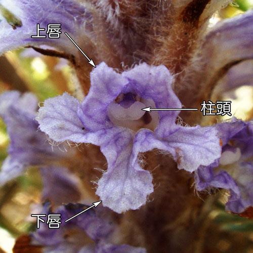 ハマウツボの花の正面