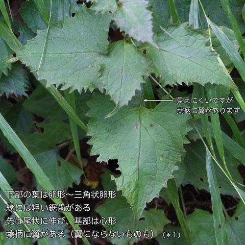タンザワヒゴタイの葉