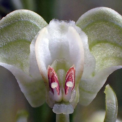 ミズトンボの花の構造 正面3