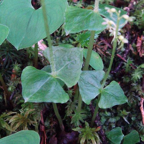 コフタバランの葉