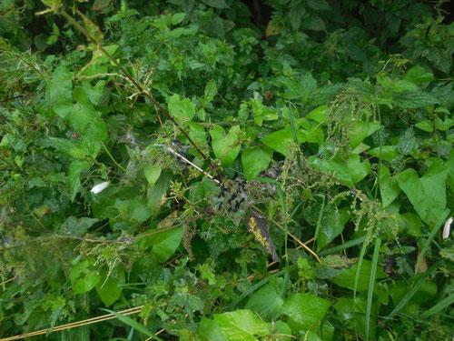 Nest von Tagpfauenaugen-Raupen