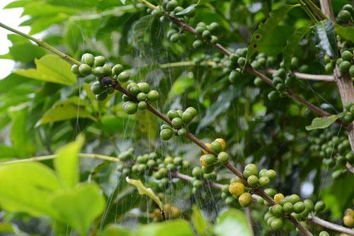Kaffeekirsche