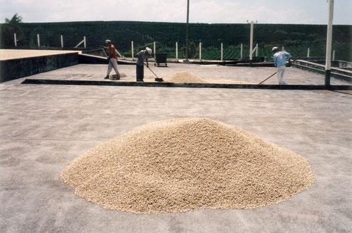 Die Kaffeebohnen werden zum Trocknen ausgebreitet.