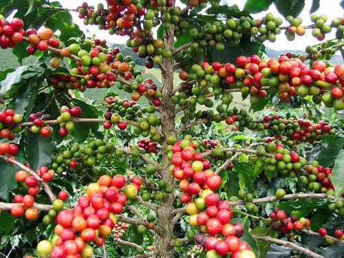 Die roten Kaffeekirschen können geerntet werden.