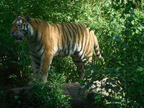 Gott machte alle verschiedenen Arten von wilden Tieren.