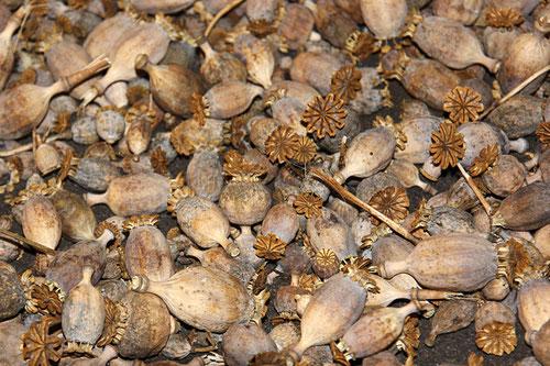 Kapseln, die Samen für eine bezaubernde Blütenfülle bergen