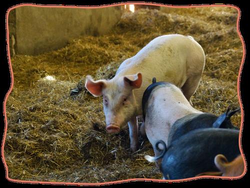 Berühmt Schweine~Leasing | Gesundes Schweinefleisch vom eigenen Schwein #FO_03