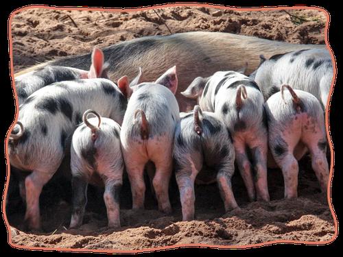 Mein BioSchwein | Schweinesharing