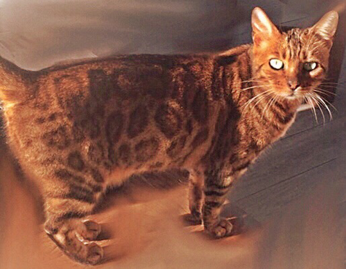 Bengal-Katze, Foto: Anette