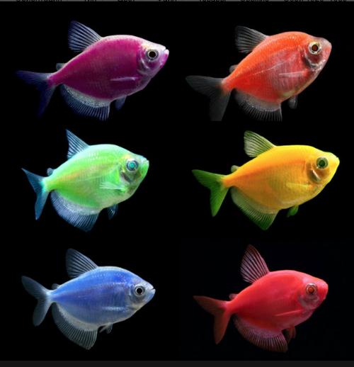 Тернеции Glo-Fish  цветные светящиеся (Генетическая/ Ксанто форма)