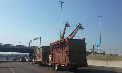 Ces girafes vont-elles passer sous le pont de l'autoroute ?