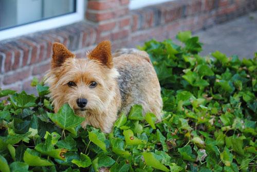 Norwich Terrier Hündin