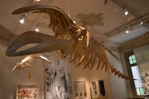Esqueleto de Ballena Franca Austral
