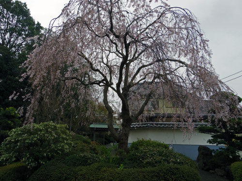 浄性院のしだれ桜