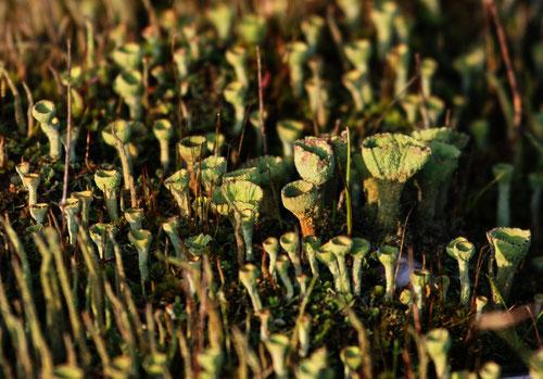 Cladonia fimbriata – Trompetenflechte