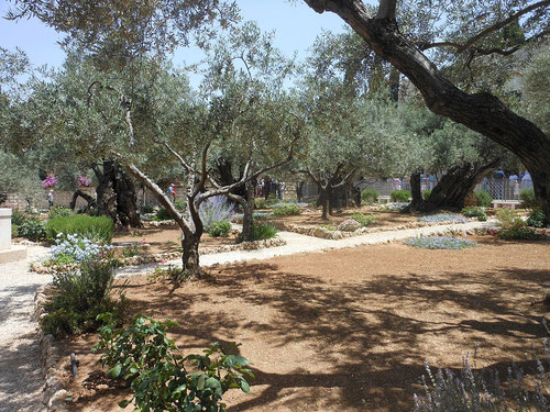 The Olive garden of Gethsemane