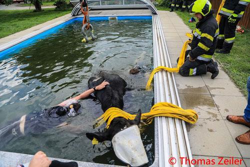 Feuerwehr; Blaulicht; BFV Knittelfeld; Kuh; Swimmingpool; Pool; 600 kg schwer; Apfelberg;