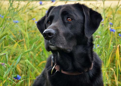 Schwarzer Hund im Kornfeld
