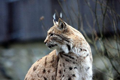 Luchs, Pauschale Wilde Tiere