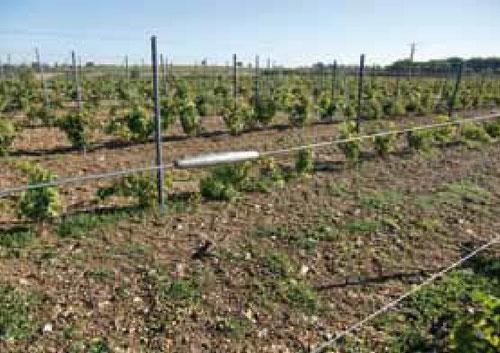 Praktische Verbindung von Drahtenden im Weinberg