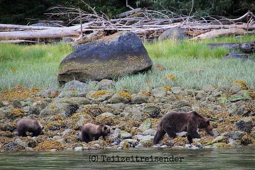Bärenfamilie auf Vancouver Island (C) Teilzeitreisender