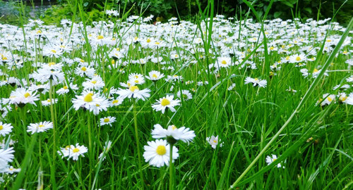 Gänseblümchen (Tausendschön), Copyright: Ilona M. Schütt, www.basenfasten-hamburg.net