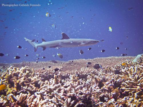 Squalo a passeggio sulla barriera corallina di Sipadan