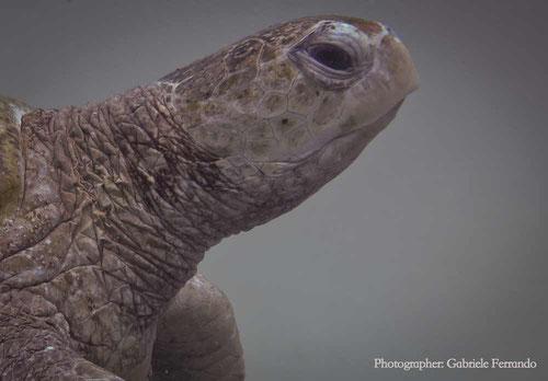 Tartaruga durante immersione a Mabul