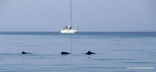 Schweinwale sind bei ruhiger See gut zu entdecken. - Foto: Dr. Harald Benke/ Ozeaneum