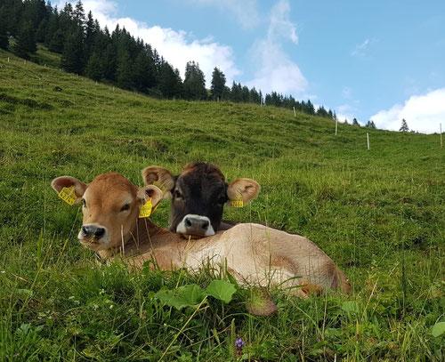 Chalbäli auf der Alp Jänzimatt