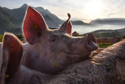 Glückliches Schwein auf der Alp Jänzimatt
