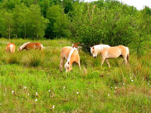 Haflinger Pferde auf freier Weide
