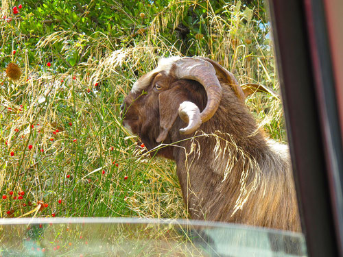 auf dem Weg zurück kreuzte eine Ziegenherde die Strasse - der kapitale Ziegenbock paßte gut auf