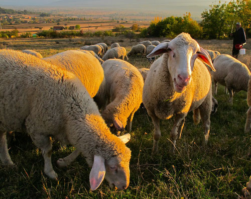 Schafherde in Süd-Serbien