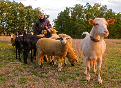 mit der Sonne kam eine alte Schäfererin mit ihren Schafen und Ziegen