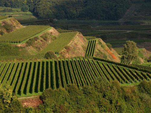 perfekt angelegte Weinberge - die Linien so exakt wie mit dem Lineal gezogen