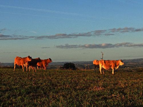 Kühe auf der Abendweide