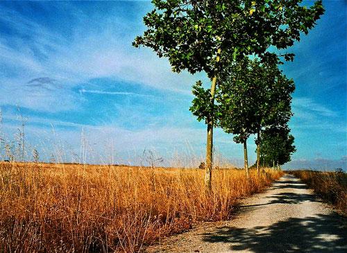 als Schattenschutz pflanzte man in neuerer Zeit diese Alleebäume