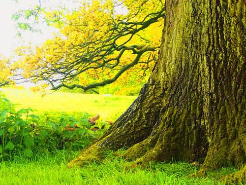 ein Baum (250 Jahre alt) aus der Zeit der ersten Parkgestaltung