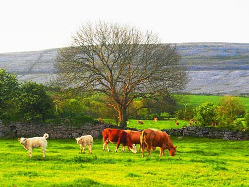 """hinter den saftigen Weiden war die steinige Karst-Landschaft """"Burren"""" zu erkennen"""